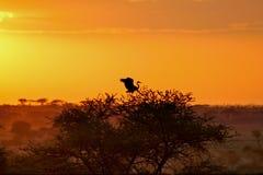 AFRICA SAFARI SUNRISE. Sunrise with a bird on the tree Royalty Free Stock Images