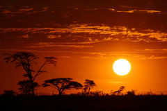 Africa safari sunset. Marvellous  Africa safari sunset with savanna trees Royalty Free Stock Photos