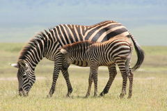 Africa Serengeti mother and baby of zebre Stock Photo