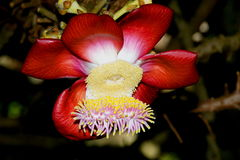 Africa. Seychelles. Lovely and amazing flower couroupita guianensis. Stock Photo