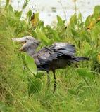 africa shoebill Uganda dziki Fotografia Royalty Free