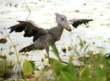 africa shoebill Uganda dziki Obraz Royalty Free