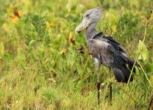 africa shoebill Uganda dziki Fotografia Stock