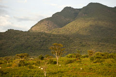 Africa, south Ethiopia,  Mago park area. Africa, south Ethiopia,, landscape with cow Stock Photos