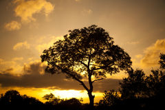 Africa Sunset. A silhouette during Sunset or Sunrise of a Tree against a Golden Sky in the African Bush Stock Photos