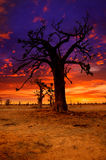 Africa sunset in Baobab trees colorful Stock Images