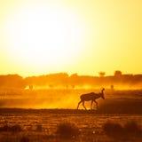 Africa Sunset Impala. Africa sunset landscape with silhouetted Impala walking on the dusty ground in Botswana, Africa Stock Photo