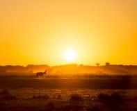 Africa Sunset Impala. Africa sunset landscape with silhouetted Impala walking on the dusty ground in Botswana, Africa stock images