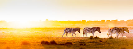 Africa Sunset Landscape. With silhouetted Zebra in the dust of Botswana, Africa Stock Photo