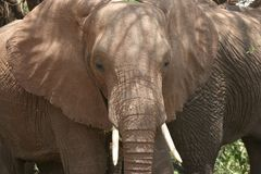 Africa Tanzania close-up big elephant african Royalty Free Stock Images
