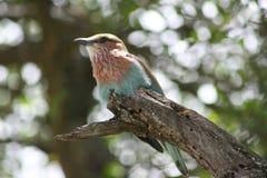 Africa Tanzania close-up bird Royalty Free Stock Photos