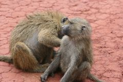 Africa,Tanzania,couple of the monkeys Royalty Free Stock Image