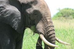 Africa Tanzania elephant image Royalty Free Stock Photos