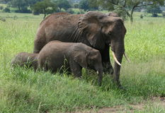 Africa Tanzania elephants family Royalty Free Stock Photo