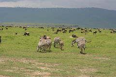 Africa, Tanzania migration pack of zebre Royalty Free Stock Images