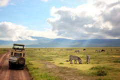 Africa, Tanzania , Ngorongoro Crater - March 2016 : Jeep safari. In the national park Royalty Free Stock Photo