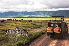 Africa, Tanzania , Ngorongoro Crater - March 2016 : Jeep safari. In the national park Stock Images