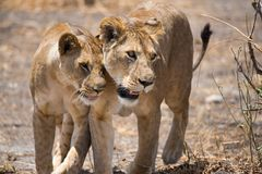 Africa tanzania. Tarangire include African lion, leopard, cheetah, caracal, honey badger, and African wild dog.It covers an area of approximately 2,850 square Stock Photo
