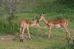 Africa Tanzania Thomson's gazelle Stock Image