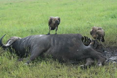 Africa Tanzania Vultures Birds Ofprey And Buffalo Stock Photos