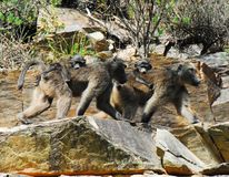 Africa- Two Wild Mother Baboons With Babies stock image