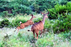 Africa- Two Young Kudu Antelopes Jumping Through the Bush royalty free stock images
