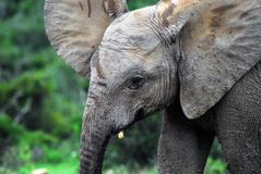 Africa- Very Close Up of a Wild Baby Elephant With Ears Flared O stock photos