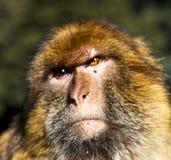 africa w Morocco cedrowym lesie pierwotny małpi zwierzęcy dziki Obraz Royalty Free
