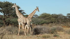 africa walczący żyraf kruger park narodowy obrazka południe brać był zbiory