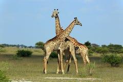 africa walczący żyraf kruger park narodowy obrazka południe brać był obrazy stock