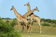 africa walczący żyraf kruger park narodowy obrazka południe brać był zdjęcie royalty free