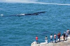africa wieloryb prawy południowy Hermanus obraz royalty free