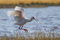 Africa wild bird Soonbill coming to land Royalty Free Stock Images