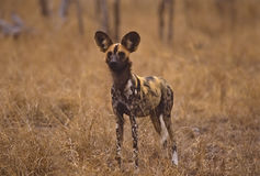 Africa-Wild dog. African wild dog. Photographed in the Mala Mala Game Reserve, South Africa Royalty Free Stock Image