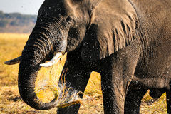 Africa wild Elephant Stock Photography