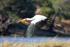 Africa wild life bird in flight Stock Photo