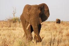 Africa wildlife. A very old African Elephant bull with its tusks broken of due to becoming brittle as a result of old age.His companion / friend is in the Royalty Free Stock Photos
