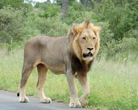 Africa wildlife: African Lion. Wild male lion (Panthera leo) in Africa Stock Photos