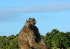 Africa Wildlife: Baboon. A chacma baboon (Papio ursinus)  in South Africa Royalty Free Stock Photography