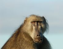 Africa wildlife: Baboon. A chacma baboon (Papio ursinus) in South Africa showing his wounds after a fight stock photo