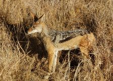 Africa Wildlife: Black-backed Jackal. A wild blackbacked jackal (Canis mesomelas) photographed in Mpumalanga, South Africa Royalty Free Stock Image