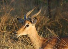 Africa Wildlife: Impala Royalty Free Stock Photography