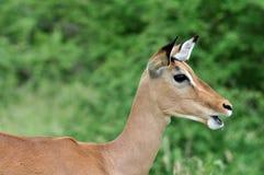 Africa Wildlife: Impala Royalty Free Stock Photos