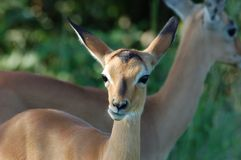 Africa Wildlife: Impala. Young female Impala Antelope (Aepyceros Melampus) in the Kruger Park, South Africa Stock Images