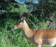 Africa Wildlife: Impala. Male Impala Antelope (Aepyceros Melampus) in the Kruger Park, South Africa Royalty Free Stock Image