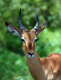 Africa Wildlife: Impala. Young Male Impala Antelope (Aepyceros Melampus) in the Kruger Park, South Africa Stock Photos