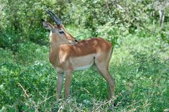 Africa Wildlife: Impala. Young Male Impala Antelope (Aepyceros Melampus) in the Kruger Park, South Africa Stock Photo