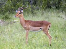 Africa Wildlife: Impala. Male Impala Antelope (Aepyceros Melampus) in the Kruger Park, South Africa Stock Image