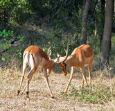 Africa Wildlife: Impala Stock Photos