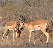 Africa Wildlife: Impala Stock Photos